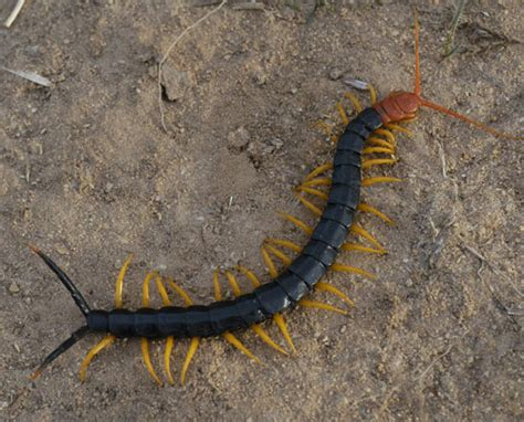 texas redheaded centipede jpg 550x444